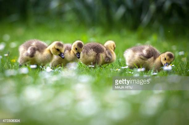 Canada goose goslings are pictured on a daisy meadow at the Volksgarten park in Duesseldorf western Germany on May 5 2015 AFP PHOTO / DPA / MAJA...