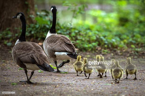 Canada goose goslings waddle behind their parents through the Volksgarten park in Duesseldorf western Germany on May 5 2015 AFP PHOTO / DPA / MAJA...