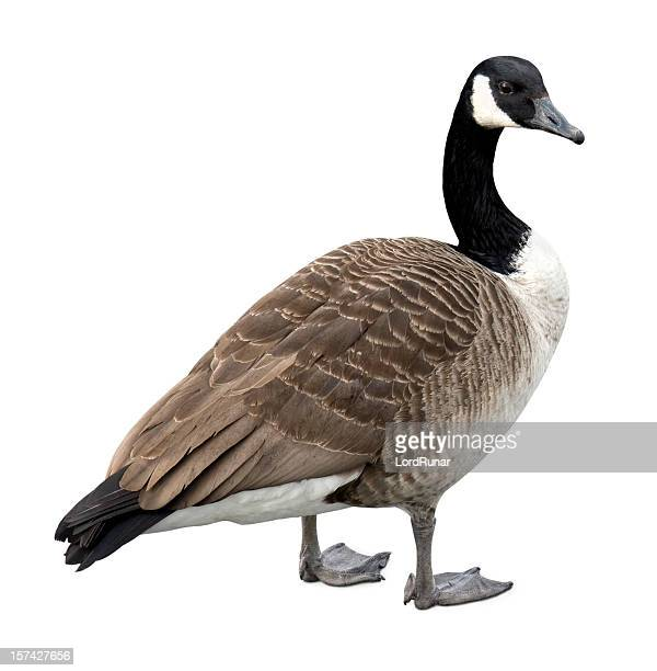 Canada goose on white