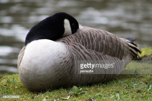 Canada Goose : Stock Photo