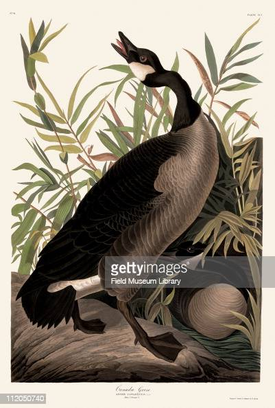 Canada Goose Plate 201 in John James Audubon's Birds of America late 1830s
