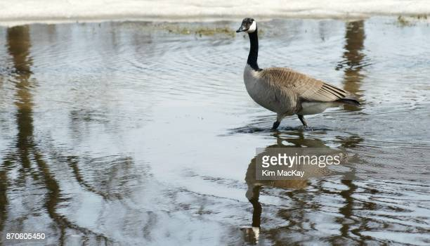 Canada Goose walking in pond with reflections