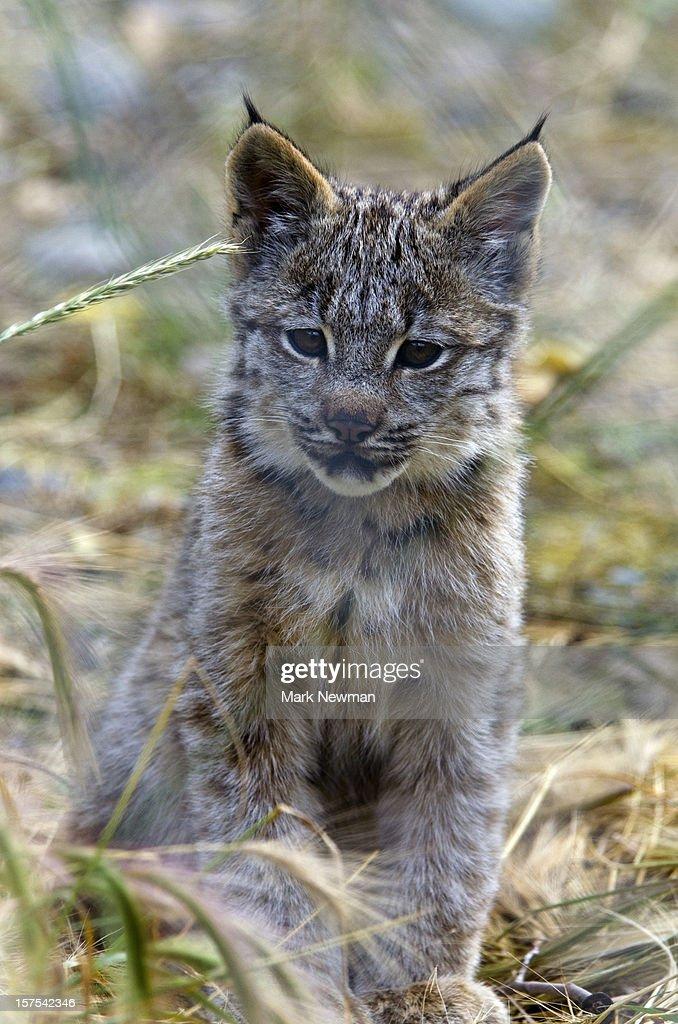 Canada Lynx kitten : Stock Photo