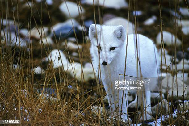 Canada Manitoba Churchill Arctic Fox In Winter Coat Hunting
