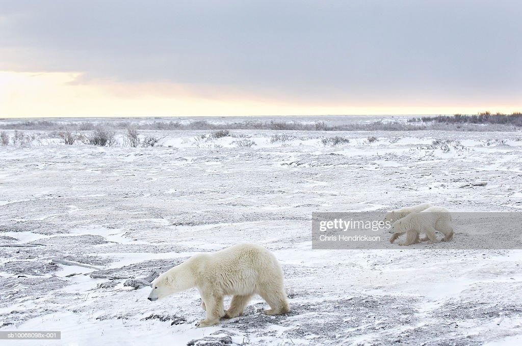 Canada, Manitoba, Churchill, female Polar Bear with two cubs walking through icy field