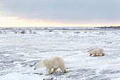 Canada, Manitoba, Churchill, female Polar Bear with two cubs walking through icy field