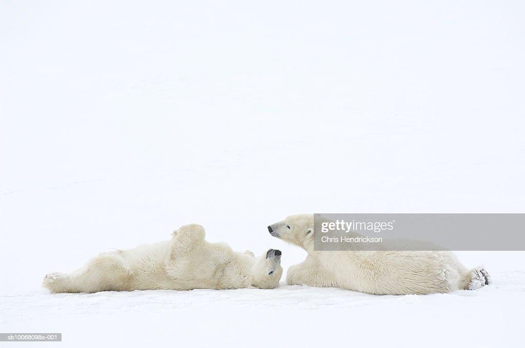 Canada, Manitoba, Churchill, two Polar Bears playing