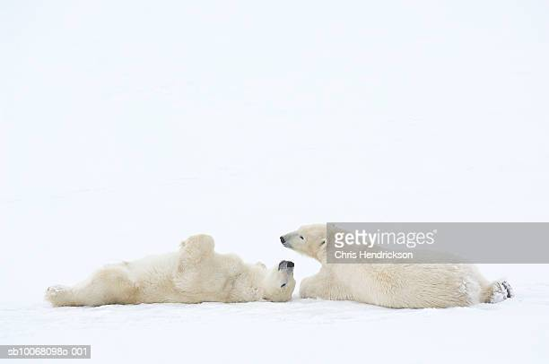 Canada, Manitoba, Churchill, two Polar Bears playing