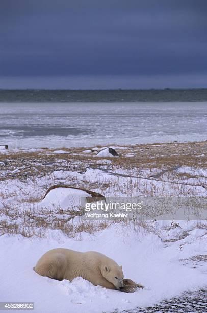 Canada Manitoba Near Churchill Tundra Polar Bear