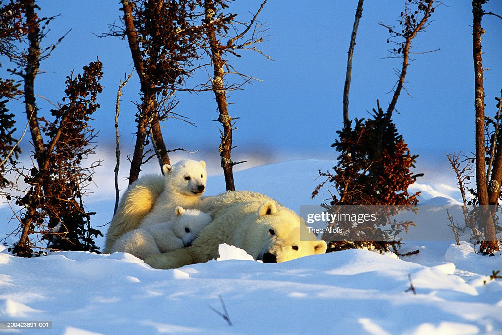 Canada, Manitoba, Wapusk National Park, polar bear and two cubs : Stock Photo