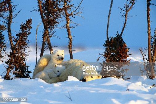 Canada, Manitoba, Wapusk National Park, polar bear and two cubs : Stock Photo
