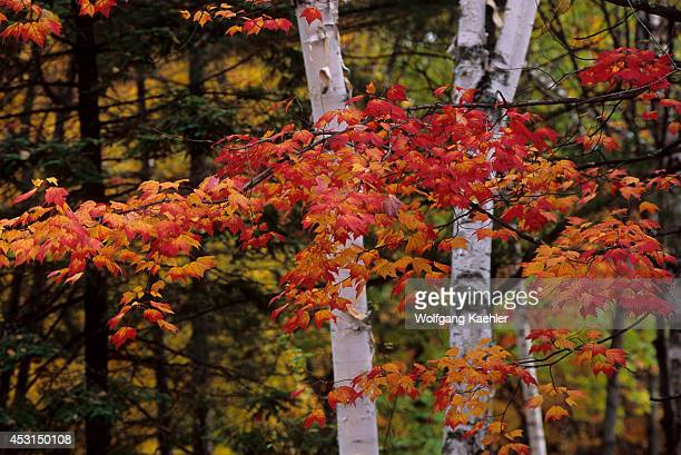 Canadaquebeclaurentian Stmargueritedulacmasson Birch Maple Trees Fall Colors