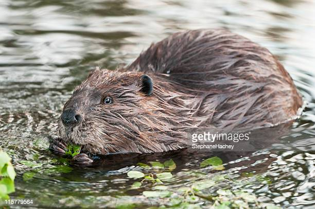 Canadian beaver eating some foliage in a water stream