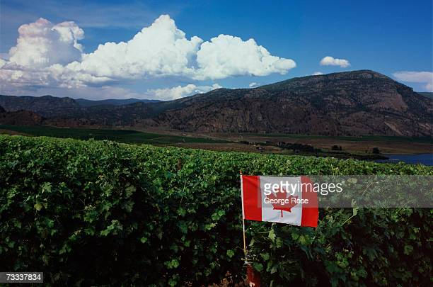 Canadian flag blows in the wind amongst the grapevines growing along the shore of Okanagan Lake in this 2006 Okanagan Valley British Columbia Canada...