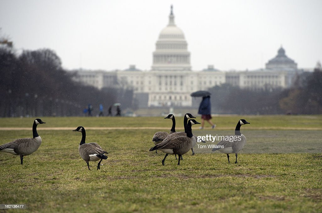 Canadian geese graze on the mall on rainy Monday morning.