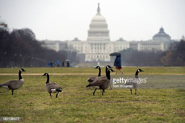 Canadian geese graze on the mall on rainy Monday morning