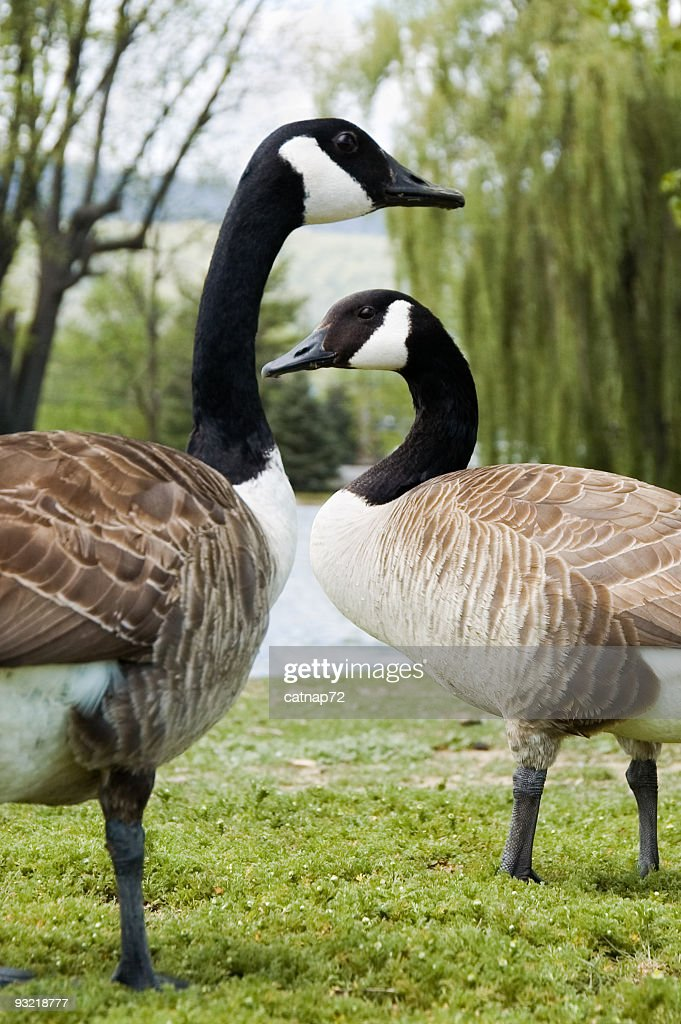 Canadian Geese in a Romantic Courtship Ritual, Spring