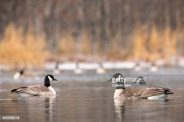 Canadian Geese in Pond, Alberta, Canada