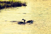 Canadian Geese Swimming In Lake