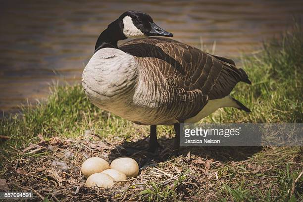 Canadian Goose and Eggs