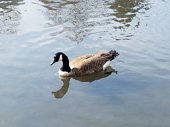 Single waterfowl on the water, reflection of animal neck and feathers