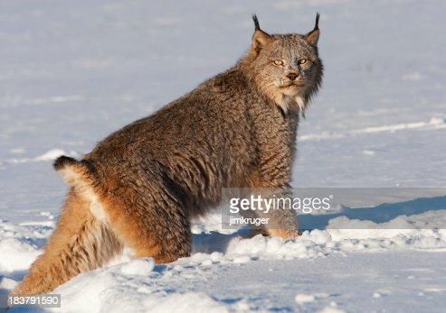Canadian lynx crossing a snowy wilderness.
