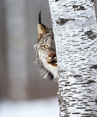 Canadian lynx peeking around a birch tree, on the prowl in Northern Minnesota wilderness.