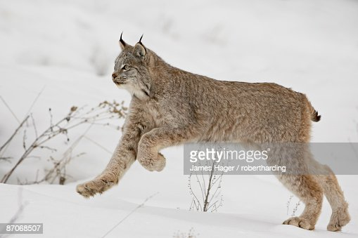 Canadian lynx (Lynx canadensis) in snow, near Bozeman, Montana, United States of America, North America