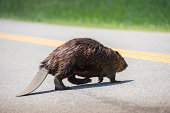 """A Canadian, North American beaver, Castor canadensis crosses a rural road."""