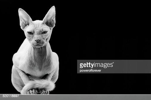 カナダスフィンクスムダ毛の猫