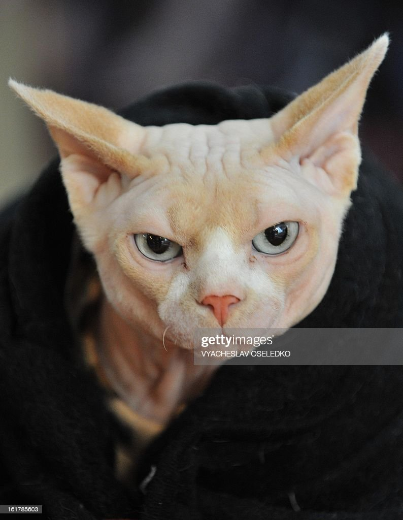 A Canadian Sphynx cat looks on during a cat exhibition in the Kyrgyzstan's capital Bishkek on February 16 2013 Cats owners from Kyrgyzstan Kazakhstan...