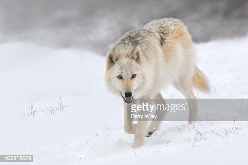 Canadian/rocky mountain grey wolf