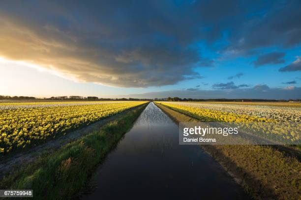 Canal with blooming narcissus fields on both sides