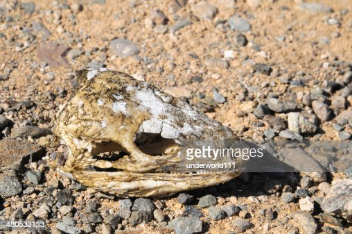Canarian Dry Lizard Skull : Stock Photo