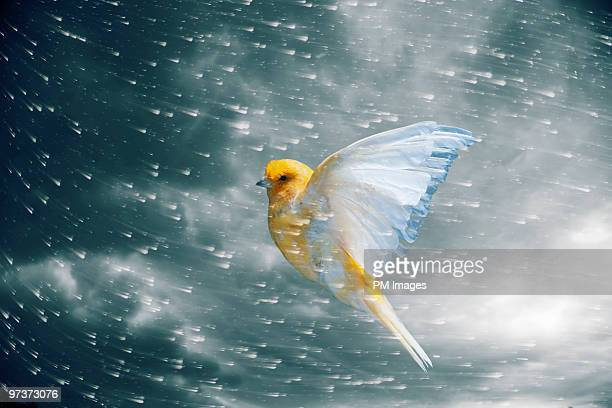 Canary flying in storm