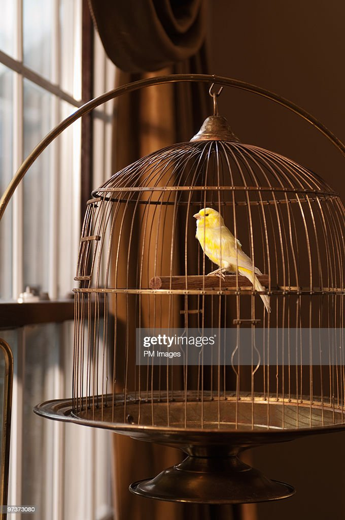 Canary in cage looking out window