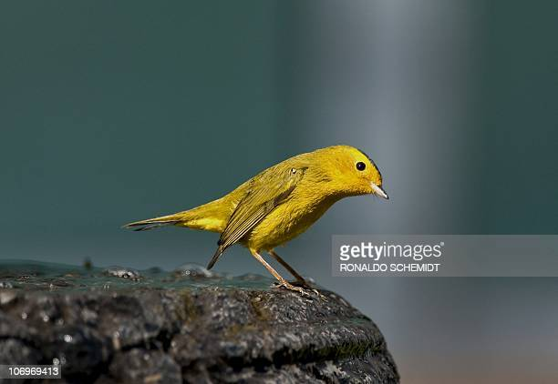 A canary is perched on a fountain in Mexico City on November 17 2010 AFP PHOTO/Ronaldo Schemidt