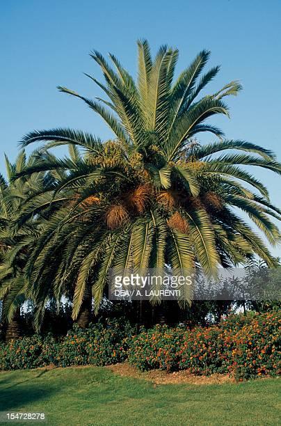 Canary Island date palm Arecaceae