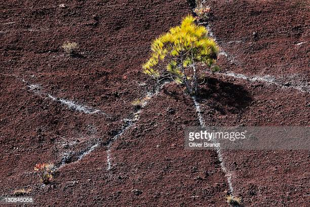 Canary Island Pine (Pinus canariensis), young plant on a rock face, La Palma, La Isla Verde, La Isla Bonita, Canary Islands, Islas Canarias, Spain, Europe