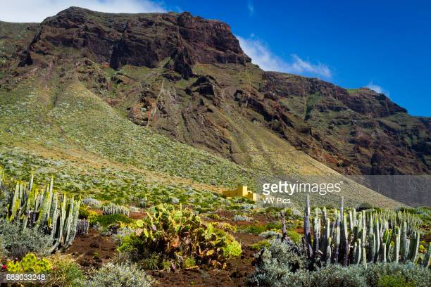 Canary Island spurge Indian fig in Punta Teno Tenerife Canary Islands Atlantic Ocean Spain