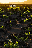 Canary Islands, Lanzarote, vineyard, vines protected by stone walls