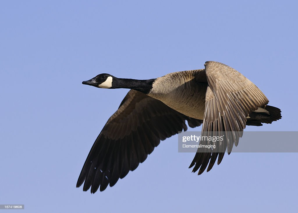 Candadian Goose (Branta canadensis) in Flight