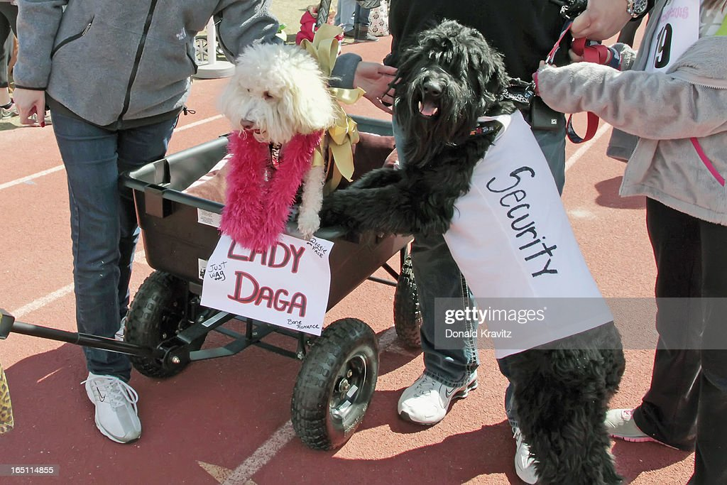 Candi (Lady Daga) a Bijon-Poo, and Bentli (Security) , a Woodle, attends the Woofin Paws pet fashion show at Carey Field on March 30, 2013 in Ocean City, New Jersey.