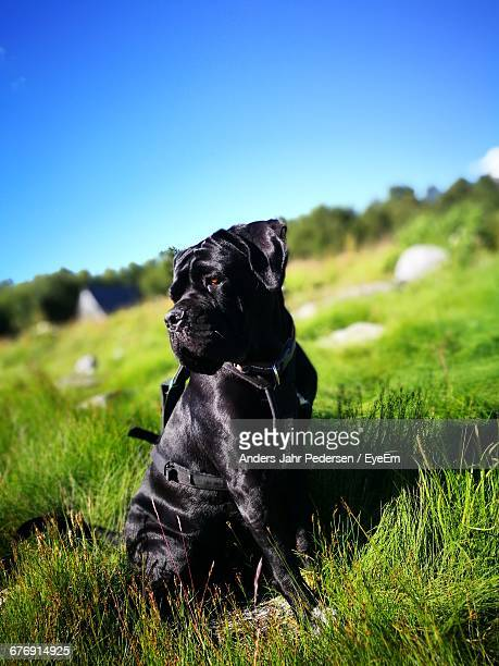 Cane Corso On Grassy Field Against Clear Sky