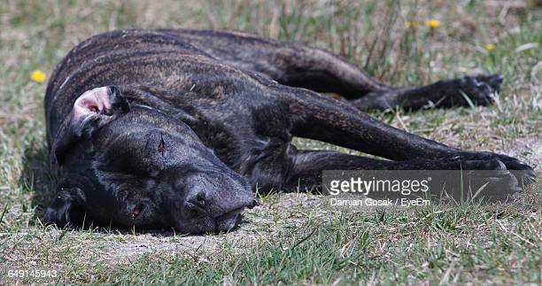 Cane Corso Relaxing On Field