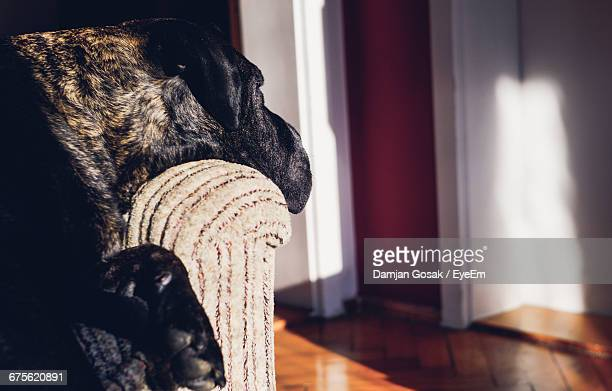 Cane Corso Relaxing On Sofa At Home