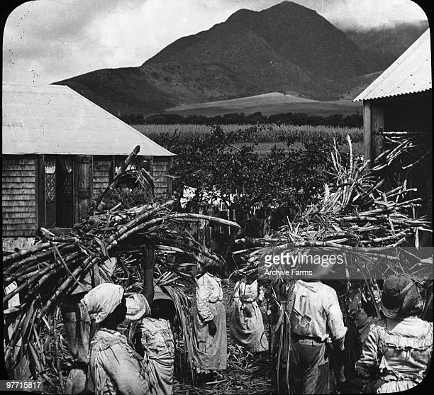 Cane ready for the grinding process Island of St Kitts British West Indies