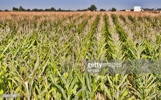 Cane thicket in the countryside : Stock Photo