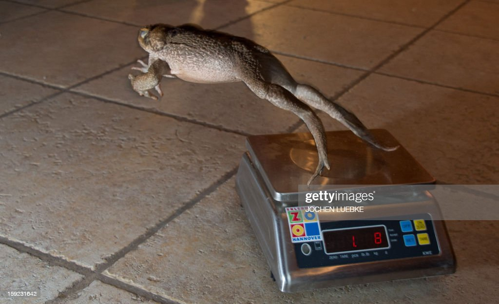 Cane toad 'Adelheid' jumps from the scales during the annual inventory at the zoo in Hanover, central Germany, on January 10, 2013. Employees of the zoo counted 3,306 animals from 247 species.