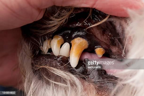 Canino Dental série-antes de limpar